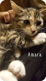 Domestic Shorthair Kitten for adoption in Staten Island, New York - Amara