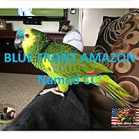 Adopt A Pet :: CC Blue Front Amazon - Vancouver, WA