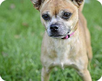 Pug/Chihuahua Mix Dog for adoption in Midland, Michigan - Gayla