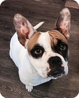 French Bulldog Mix Dog for adoption in Lincoln, California - Tory