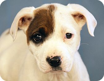American Staffordshire Terrier Mix Puppy for adoption in Maynardville, Tennessee - Bart