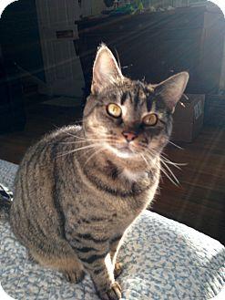 Domestic Shorthair Cat for adoption in Richmond, Virginia - Diasy