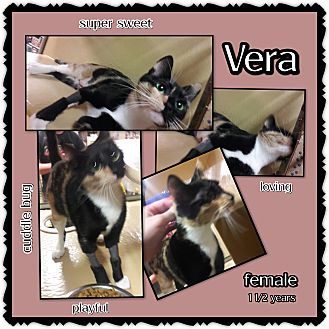 Calico Cat for adoption in Richmond, California - Vera