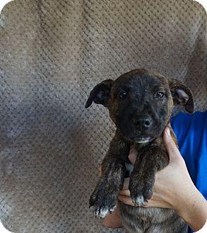 Plott Hound/Shepherd (Unknown Type) Mix Puppy for adoption in Oviedo, Florida - Tara