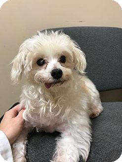 Maltese/Poodle (Standard) Mix Dog for adoption in Brooklyn, New York - Donald