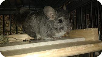 Chinchilla for adoption in Avondale, Louisiana - John