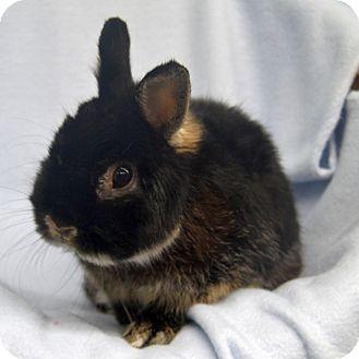 Dwarf Mix for adoption in Wheaton, Illinois - Brownie