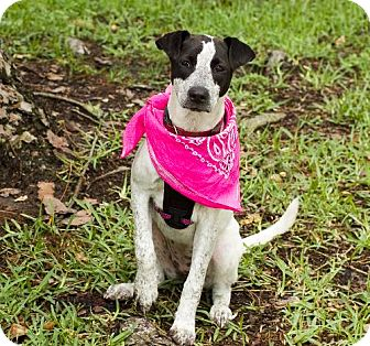 Whippet/Pointer Mix Dog for adoption in Santa Fe, Texas - Libby with video S