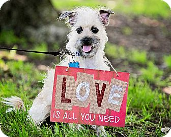 Brussels Griffon/Cairn Terrier Mix Dog for adoption in San Diego, California - Otis