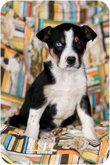 Australian Shepherd Mix Puppy for adoption in Portland, Oregon - Kade