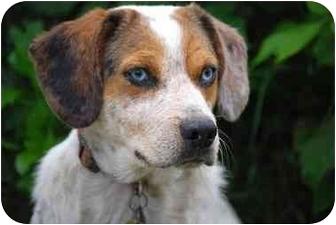 Australian Cattle Dog/Beagle Mix Dog for adoption in Athens, Ohio - Caleb