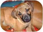 Pug/Beagle Mix Puppy for adoption in Columbus, Nebraska - Elin