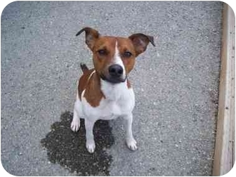 Jack Russell Terrier Dog for adoption in Spokane, Washington - JACKSON