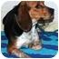 Photo 1 - Beagle Dog for adoption in Lancaster, Kentucky - Clyde