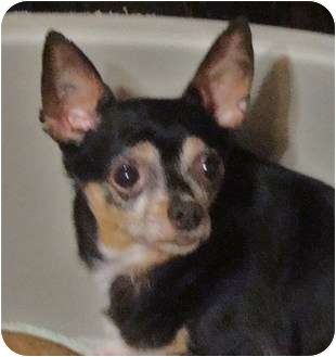Chihuahua Dog for adoption in Millersburg, Ohio - Gomez