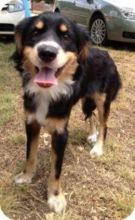 Spaniel (Unknown Type) Mix Dog for adoption in Schertz, Texas - Deja