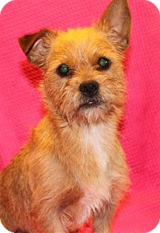 Brussels Griffon Mix Dog for adoption in Salem, New Hampshire - Wookie