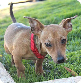 Dachshund Mix Puppy for adoption in Bellflower, California - Amos