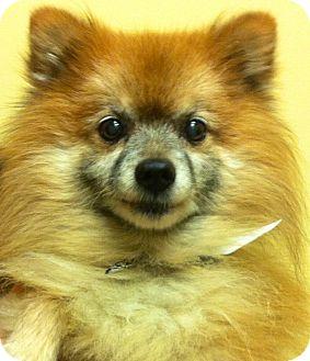 Pomeranian Dog for adoption in Oswego, Illinois - Honey Bear