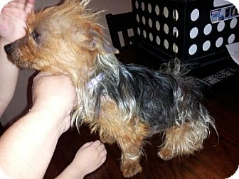Yorkie, Yorkshire Terrier Dog for adoption in Houston, Texas - ZIPPY