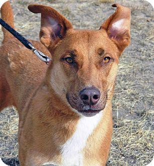 Labrador Retriever/Shepherd (Unknown Type) Mix Dog for adoption in Cheyenne, Wyoming - Raja