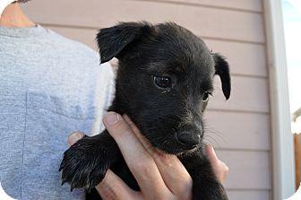Border Collie/Labrador Retriever Mix Puppy for adoption in Westminster, Colorado - Spencer