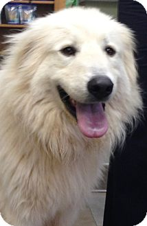 Great Pyrenees Dog for adoption in Tulsa, Oklahoma - Karma  *Adopted