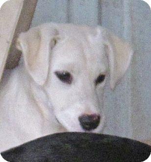 Labrador Retriever Mix Puppy for adoption in Cairo, Georgia - Popcorn