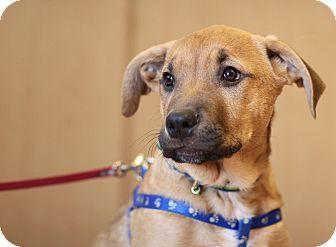 Pit Bull Terrier/Shepherd (Unknown Type) Mix Puppy for adoption in Surrey, British Columbia - Mork