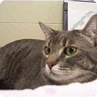 Adopt A Pet :: Smokey Joe - Mission, BC