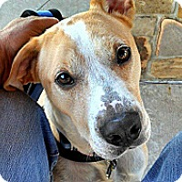 Labrador Retriever/Pointer Mix Dog for adoption in Irving, Texas - Sawyer