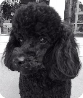 Poodle (Miniature) Dog for adoption in Dover, Massachusetts - Pierre