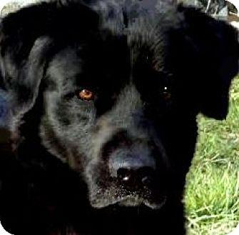 Labrador Retriever Dog for adoption in Wakefield, Rhode Island - JACKSON(LOVES TO PLAY FETCH!!)