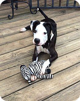 Boxer/Labrador Retriever Mix Dog for adoption in CHAMPAIGN, Illinois - BELLA