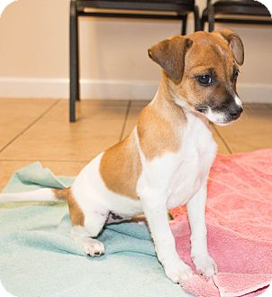 Beagle/Jack Russell Terrier Mix Puppy for adoption in Seneca, South Carolina - Ada $250