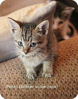Domestic Shorthair Kitten for adoption in New Orleans, Louisiana - Ducky