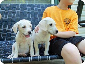 Labrador Retriever/Beagle Mix Puppy for adoption in Point Pleasant, Pennsylvania - KENNY-PENDING