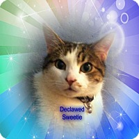 Adopt A Pet :: Umbro  DECLAWED Snuggler 25.00 - Rochester, NY