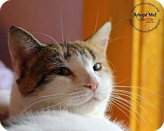 Domestic Shorthair Cat for adoption in Lyons, New York - Skyfall