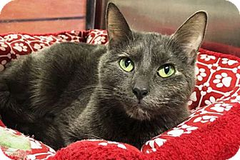 Domestic Shorthair Cat for adoption in Anoka, Minnesota - Orchid
