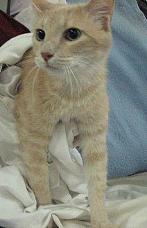 Domestic Shorthair Cat for adoption in Fort Walton Beach, Florida - Fabio