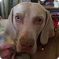 Adopt A Pet :: Bullet - Sun Valley, CA
