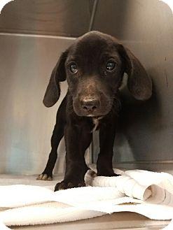 Labrador Retriever Mix Puppy for adoption in Cumming, Georgia - Sophie