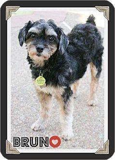 Schnauzer (Miniature)/Yorkie, Yorkshire Terrier Mix Dog for adoption in Arlington, Texas - BRUNO