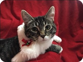 Domestic Shorthair Cat for adoption in Spring Valley, California - Melody