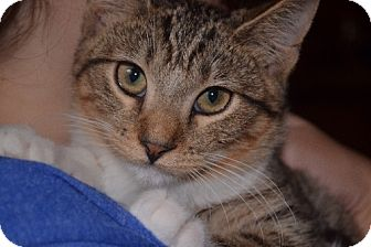 Domestic Shorthair Kitten for adoption in Rochester, Minnesota - Peter