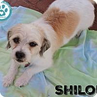 Adopt A Pet :: Shiloh - Kimberton, PA