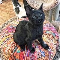 Adopt A Pet :: Mini - Arlington/Ft Worth, TX