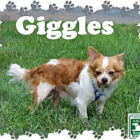 Adopt A Pet :: Giggles - Fallston, MD