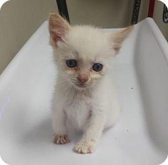 Domestic Shorthair/Domestic Shorthair Mix Cat for adoption in Walla Walla, Washington - Artemis